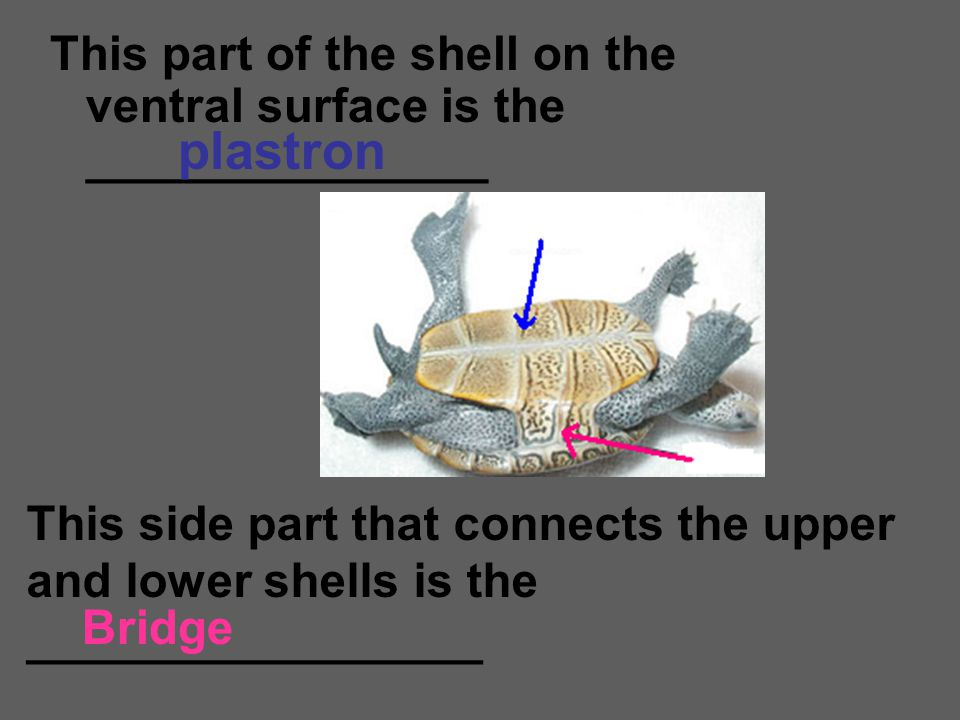 This part of the shell on the ventral surface is the _______________ plastron Bridge This side part that connects the upper and lower shells is the __