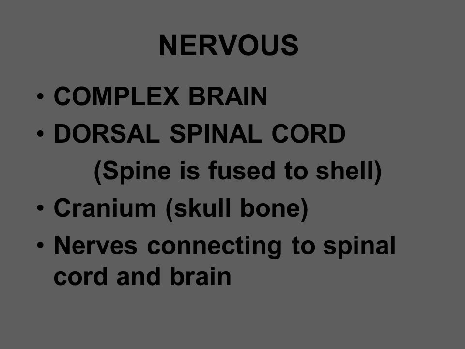 NERVOUS COMPLEX BRAIN DORSAL SPINAL CORD (Spine is fused to shell) Cranium (skull bone) Nerves connecting to spinal cord and brain