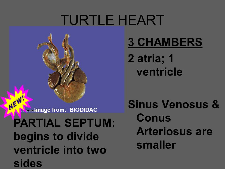 TURTLE HEART 3 CHAMBERS 2 atria; 1 ventricle Sinus Venosus & Conus Arteriosus are smaller PARTIAL SEPTUM: begins to divide ventricle into two sides Im
