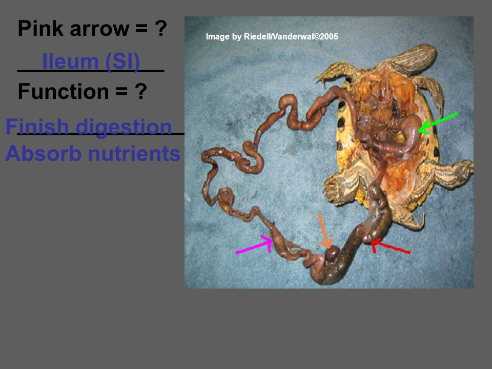 Pink arrow = ? ____________ Function = ? ______________ Ileum (SI) Finish digestion Absorb nutrients Image by Riedell/Vanderwal©2005