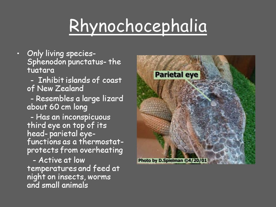 Rhynochocephalia Only living species- Sphenodon punctatus- the tuatara - Inhibit islands of coast of New Zealand - Resembles a large lizard about 60 c
