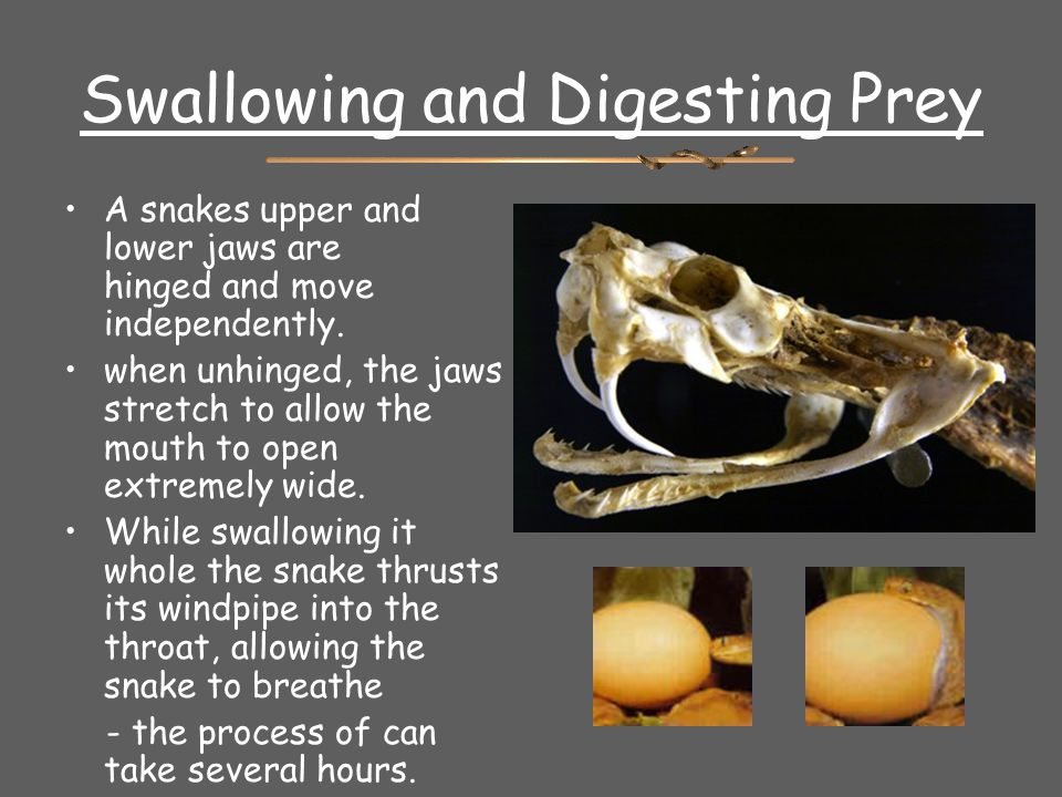 Swallowing and Digesting Prey A snakes upper and lower jaws are hinged and move independently. when unhinged, the jaws stretch to allow the mouth to o