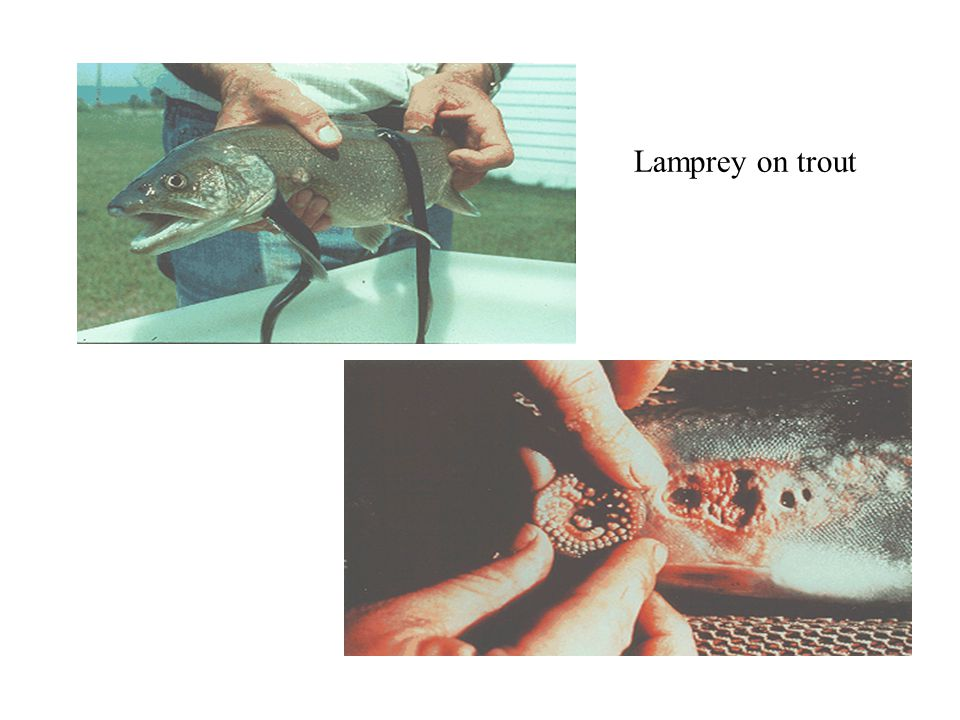 Lamprey on trout