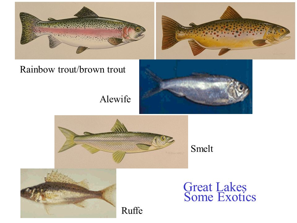Great Lakes Some Exotics Rainbow trout/brown trout Alewife Smelt Ruffe