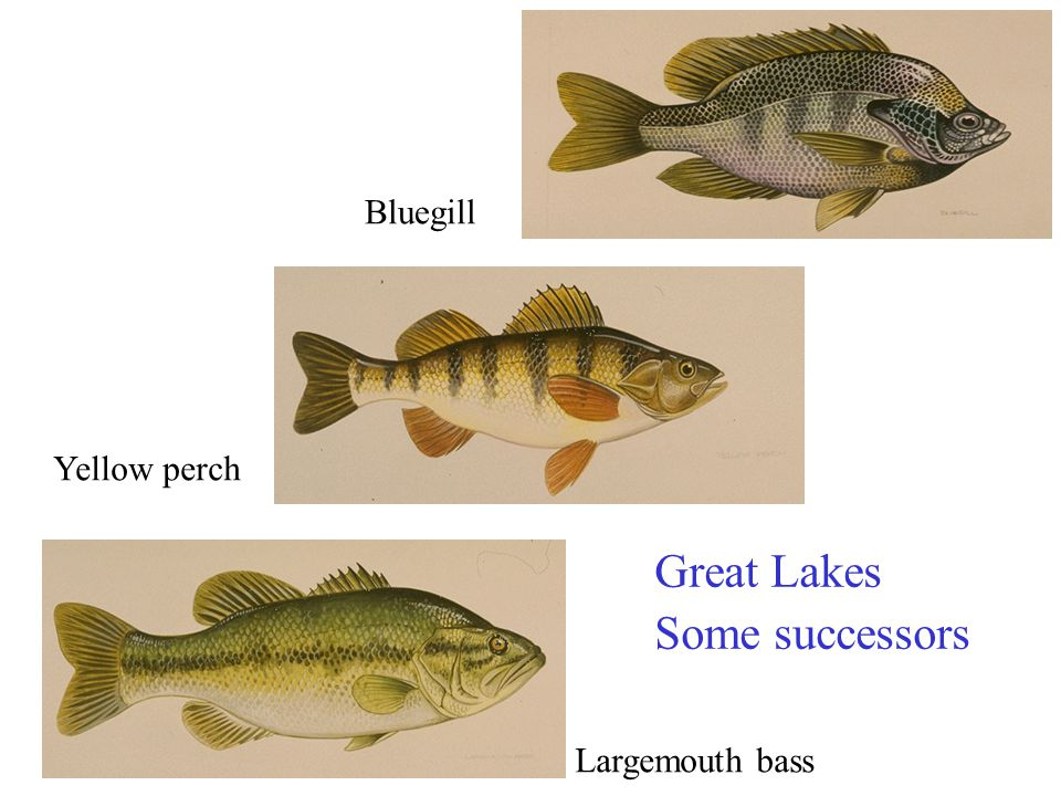 Great Lakes Some successors Largemouth bass Yellow perch Bluegill