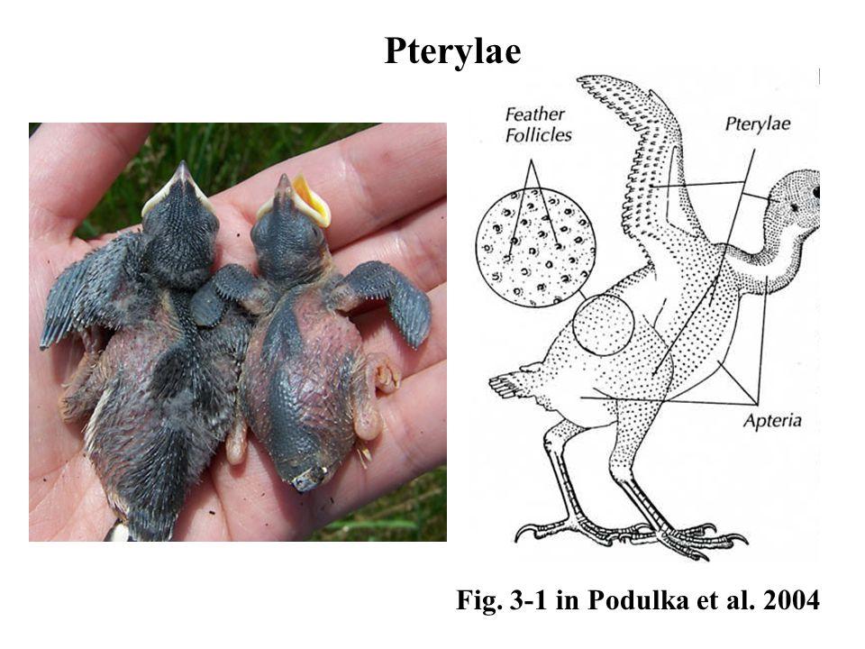 Fig. 3-1 in Podulka et al. 2004 Pterylae