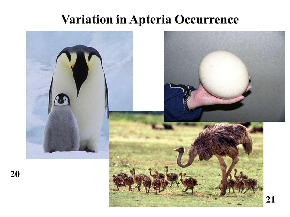 20 21 Variation in Apteria Occurrence