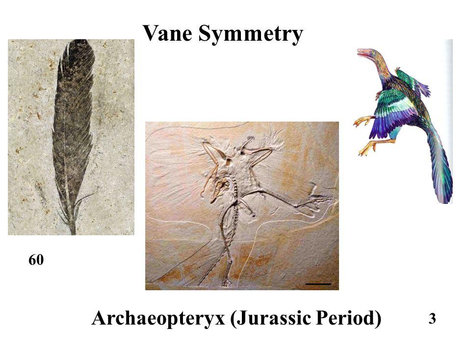 3 Archaeopteryx (Jurassic Period) Vane Symmetry 60