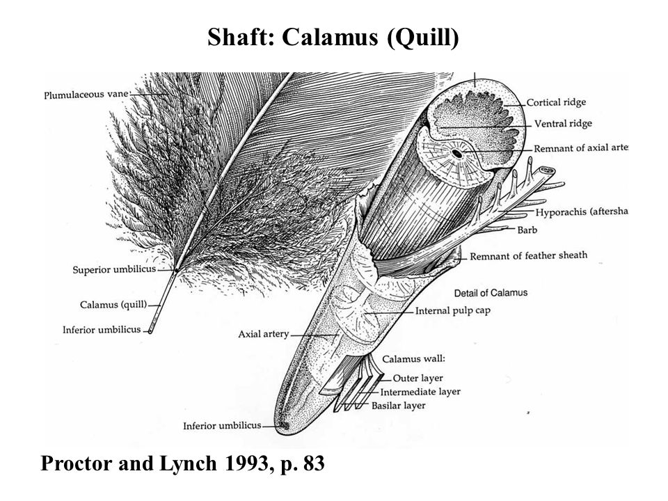 Proctor and Lynch 1993, p. 83 Shaft: Calamus (Quill)