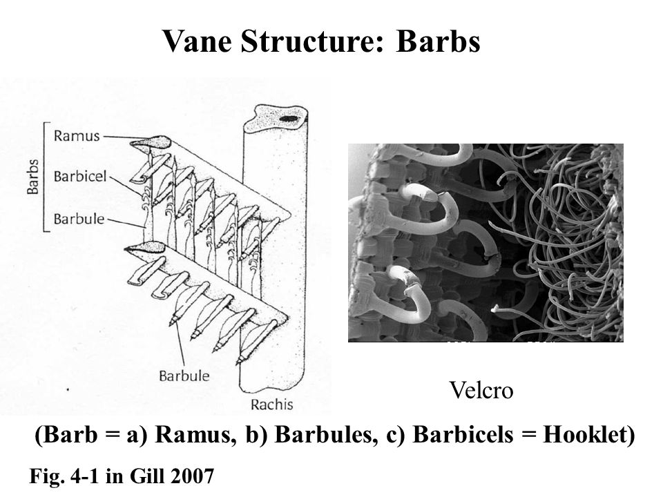 Vane Structure: Barbs (Barb = a) Ramus, b) Barbules, c) Barbicels = Hooklet) Fig.