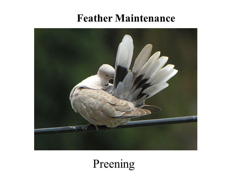 Preening Feather Maintenance