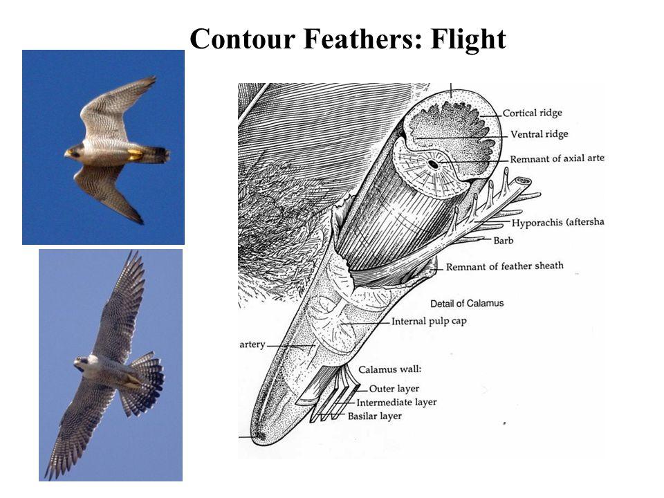 Contour Feathers: Flight