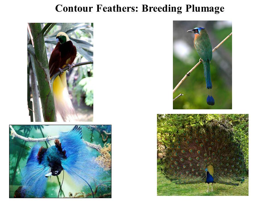 Contour Feathers: Breeding Plumage