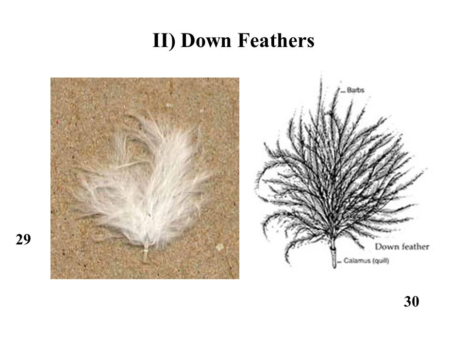 29 30 II) Down Feathers