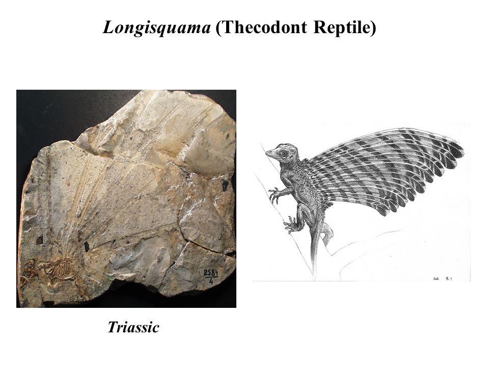 Longisquama (Thecodont Reptile) Triassic