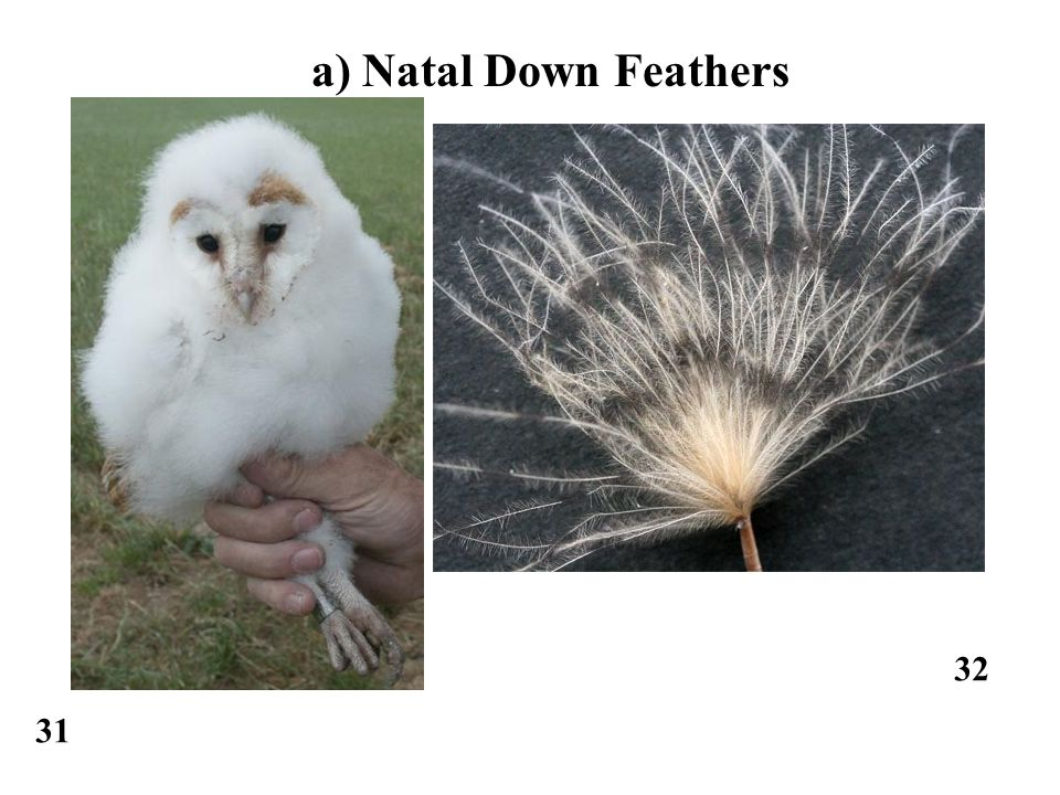 31 32 a) Natal Down Feathers