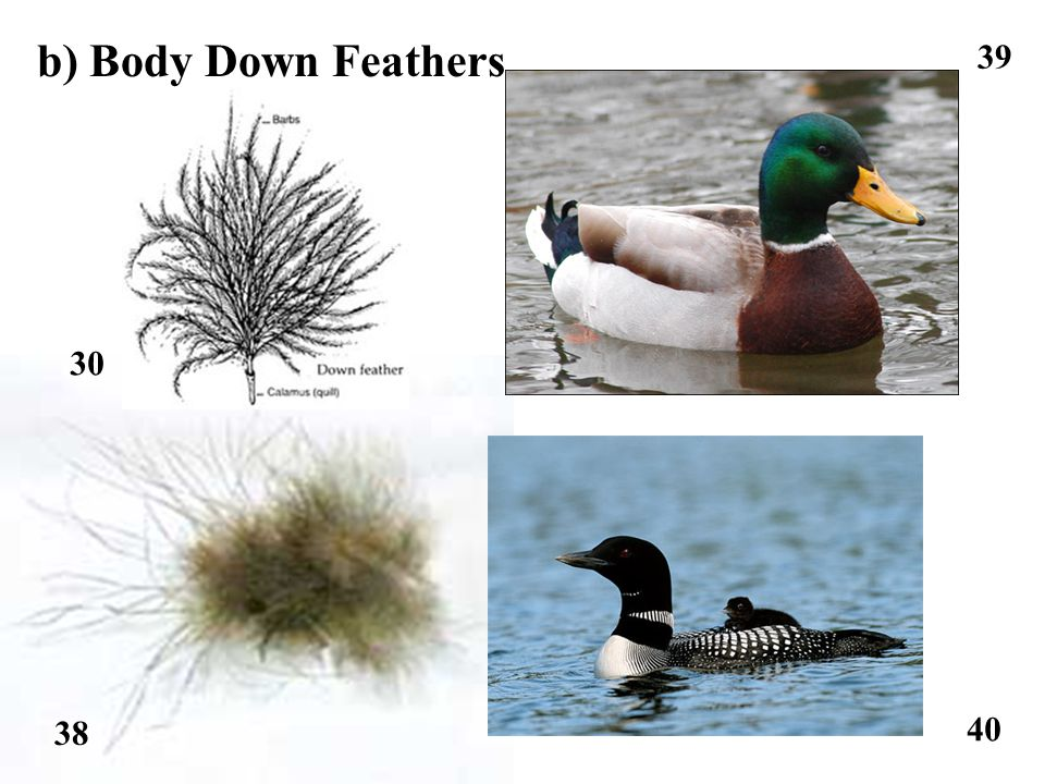 38 39 40 b) Body Down Feathers 30