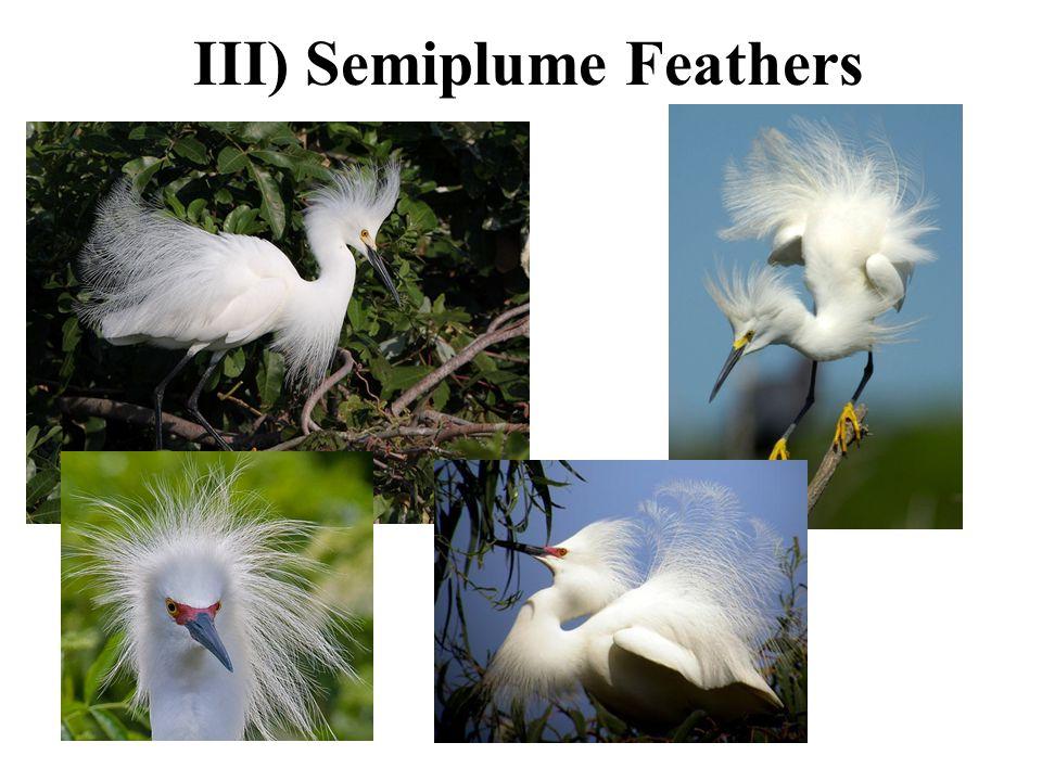 III) Semiplume Feathers