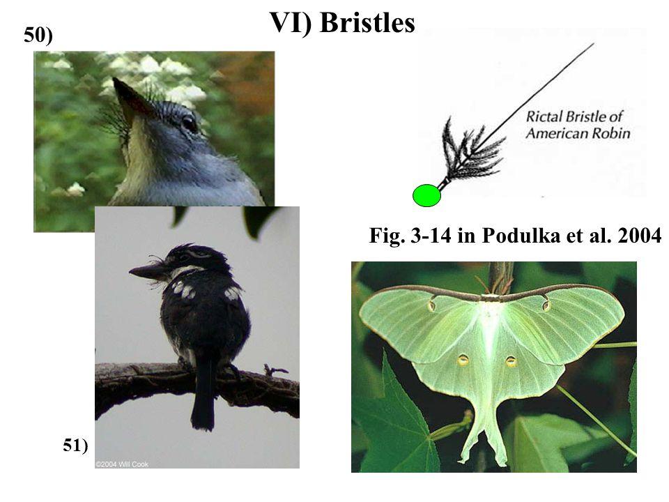 VI) Bristles 50) 51) Fig. 3-14 in Podulka et al. 2004