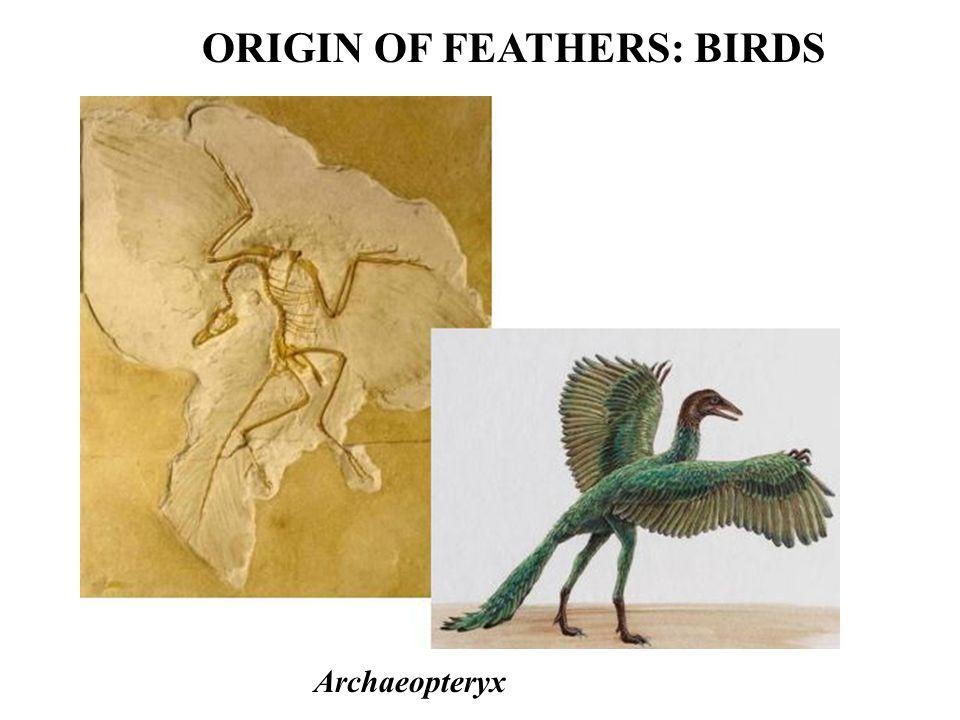 ORIGIN OF FEATHERS: BIRDS Archaeopteryx