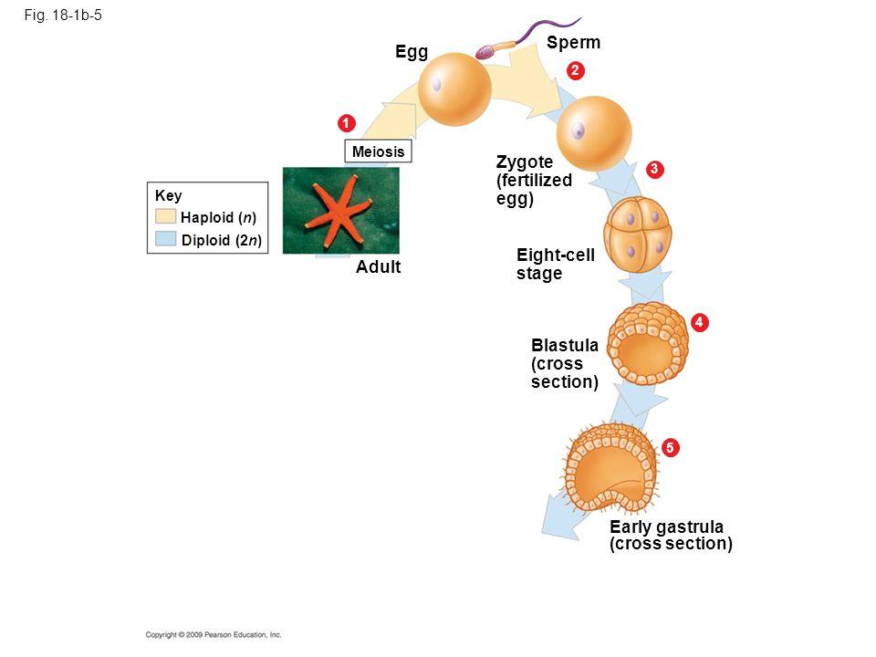 Fig. 18-1b-5 Egg Meiosis 1 5 4 3 2 Sperm Zygote (fertilized egg) Eight-cell stage Adult Blastula (cross section) Early gastrula (cross section) Haploi