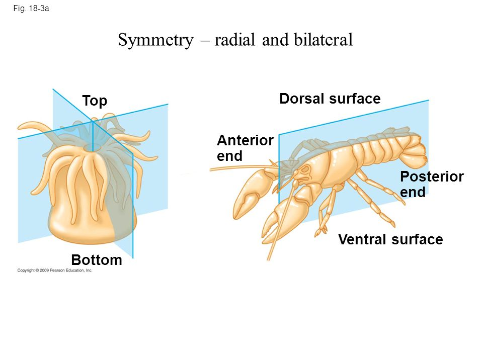 Fig. 18-3a Top Bottom Anterior end Dorsal surface Ventral surface Posterior end Symmetry – radial and bilateral