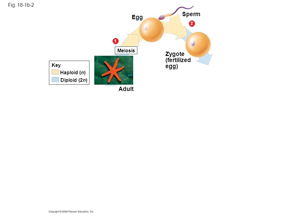 Fig. 18-1b-2 Egg Meiosis 1 2 Sperm Zygote (fertilized egg) Haploid (n) Diploid (2n) Key Adult