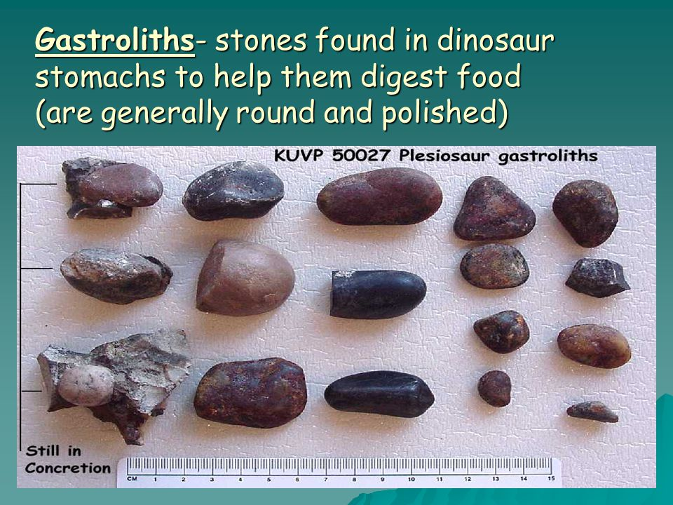 Gastroliths- stones found in dinosaur stomachs to help them digest food (are generally round and polished)