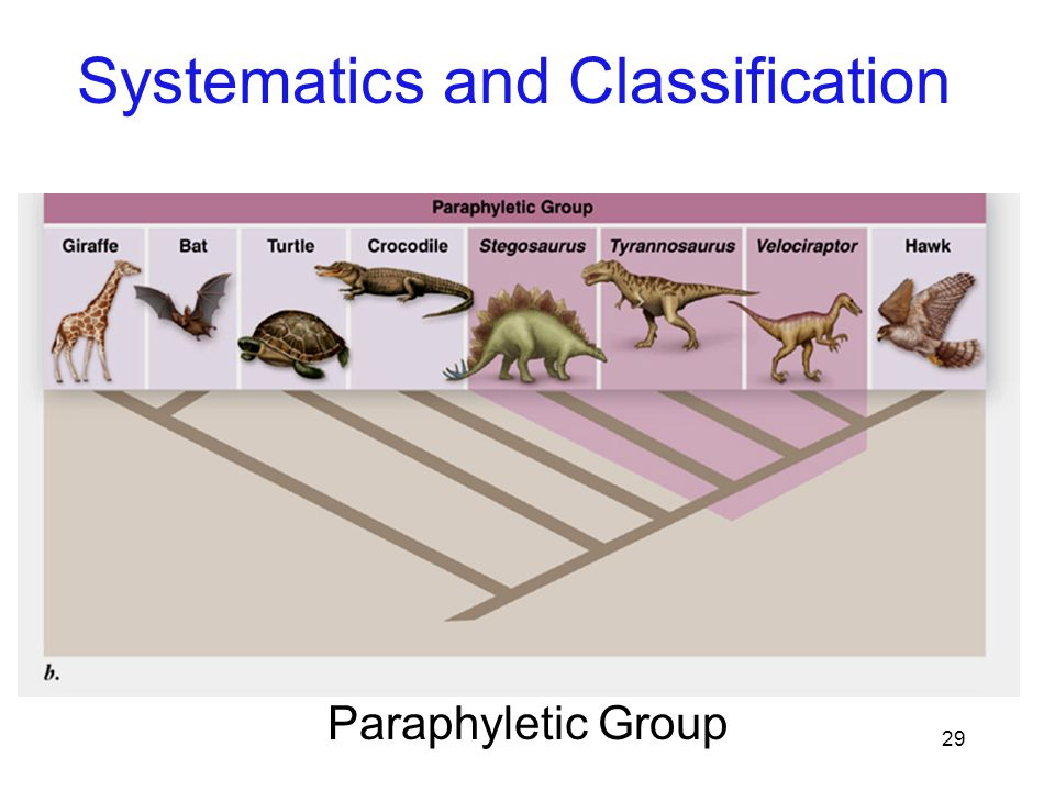29 Paraphyletic Group Systematics and Classification