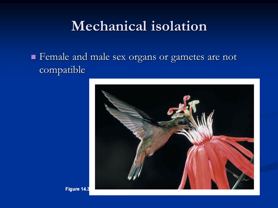Figure 14.3C Female and male sex organs or gametes are not compatible Female and male sex organs or gametes are not compatible Mechanical isolation
