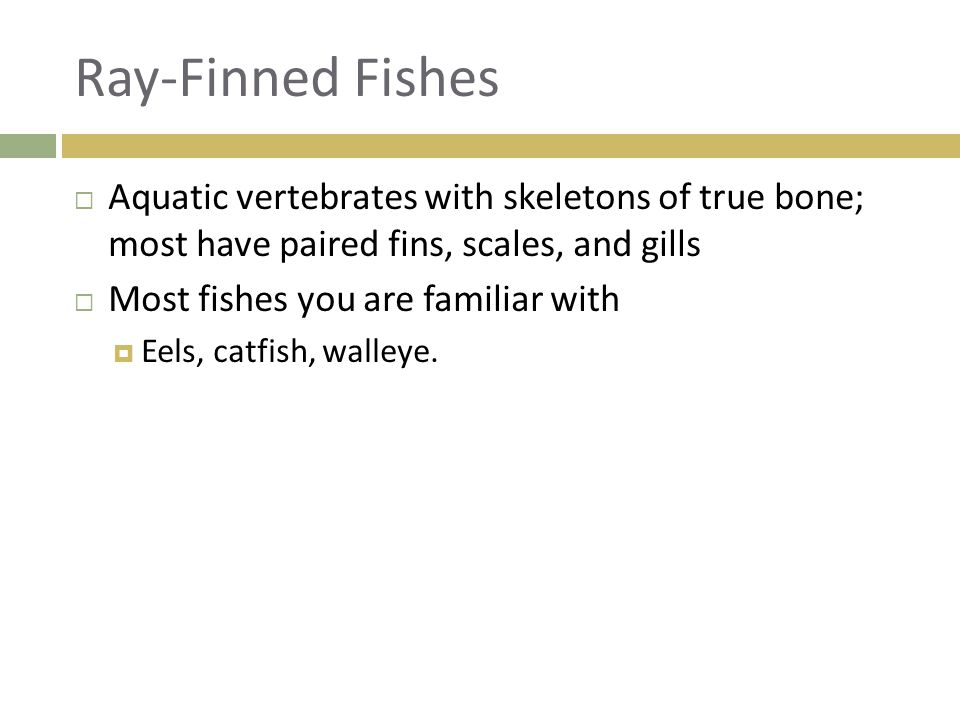 Ray-Finned Fishes  Aquatic vertebrates with skeletons of true bone; most have paired fins, scales, and gills  Most fishes you are familiar with  Ee