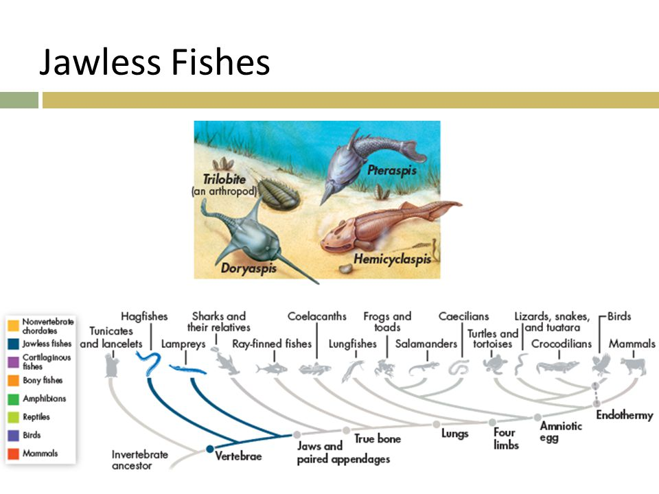 Jawless Fishes  510 million years ago  No true jaws or teeth, and their skeletons were made of cartilage.