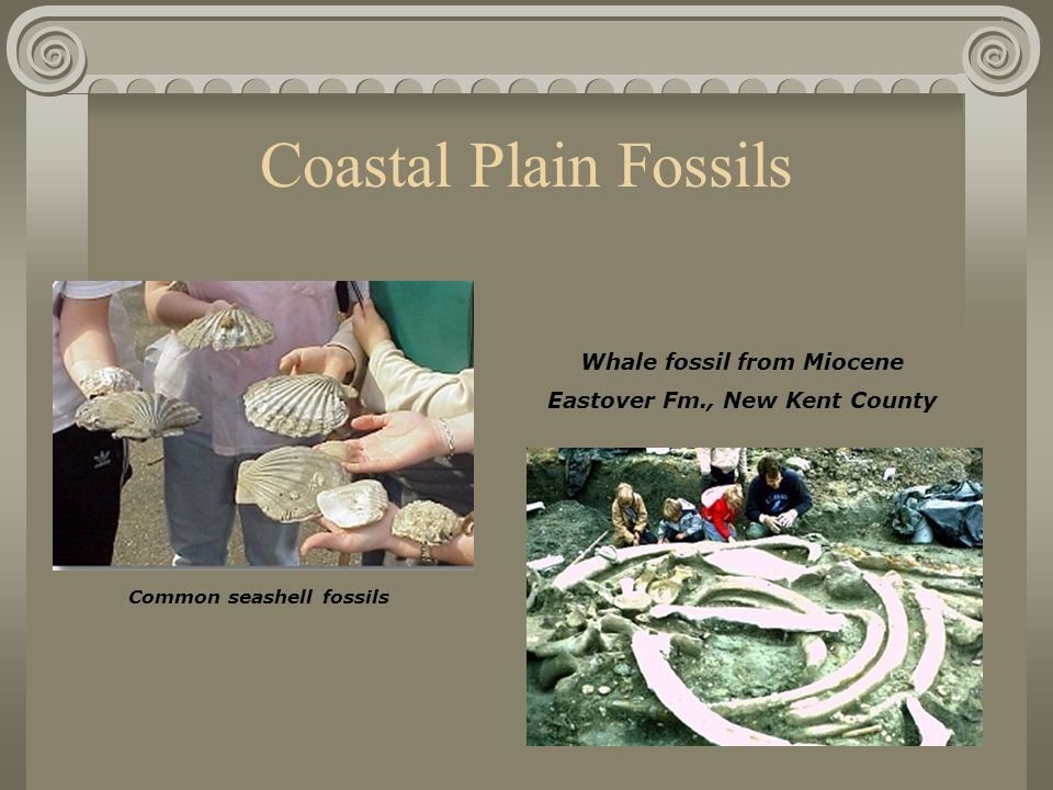 Coastal Plain Fossils Common seashell fossils Whale fossil from Miocene Eastover Fm., New Kent County