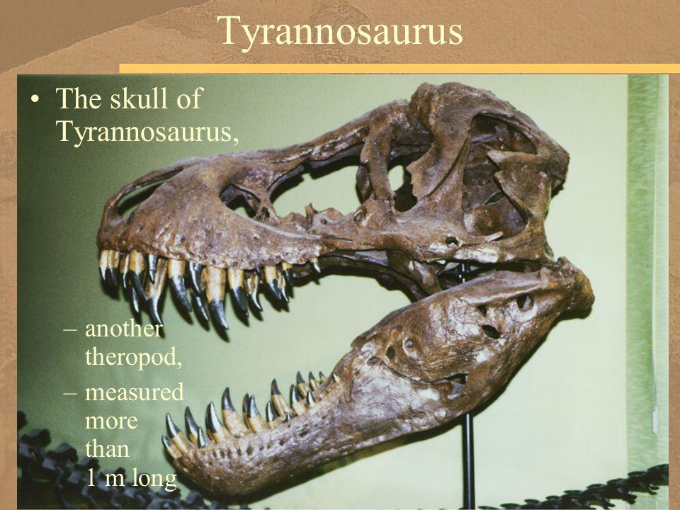 The skull of Tyrannosaurus, –another theropod, –measured more than 1 m long Tyrannosaurus