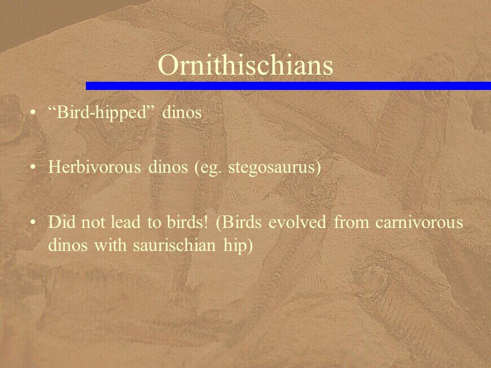 Ornithischians Bird-hipped dinos Herbivorous dinos (eg.