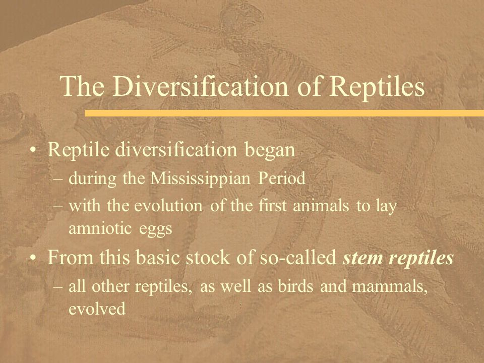 Reptile diversification began –during the Mississippian Period –with the evolution of the first animals to lay amniotic eggs From this basic stock of
