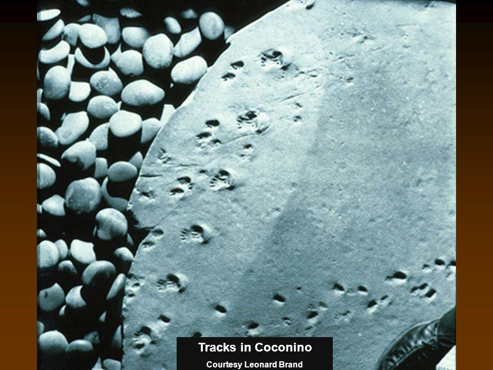 Tracks in Coconino Courtesy Leonard Brand