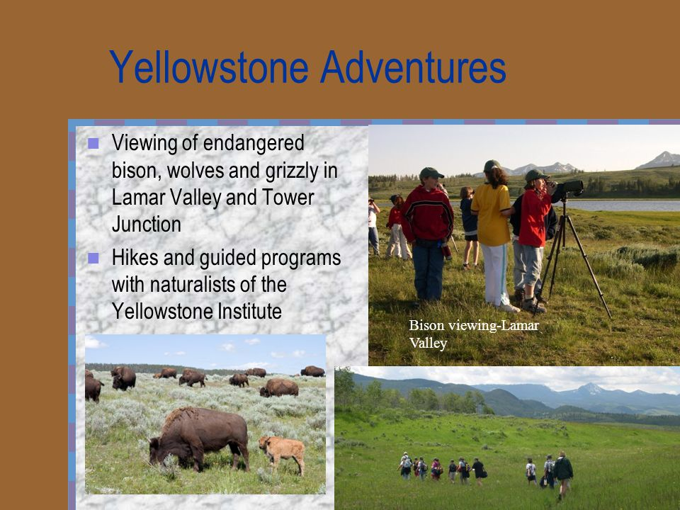 Yellowstone Adventures Viewing of endangered bison, wolves and grizzly in Lamar Valley and Tower Junction Hikes and guided programs with naturalists of the Yellowstone Institute Bison viewing-Lamar Valley