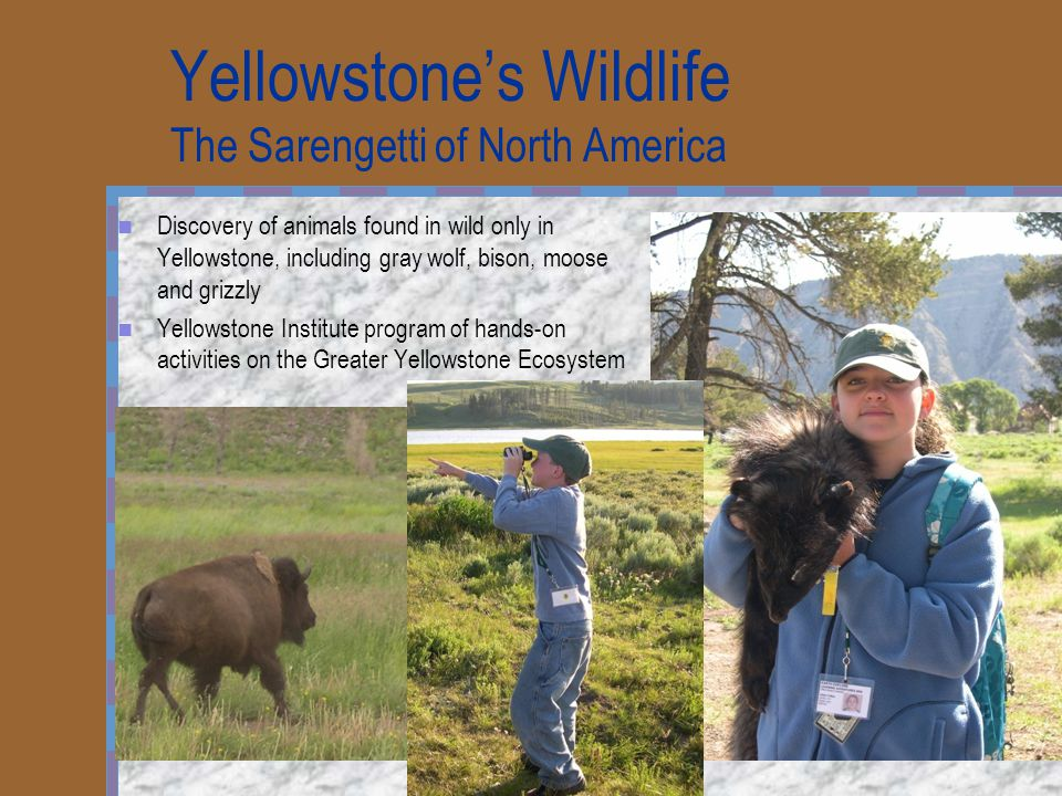 Yellowstone's Wildlife The Sarengetti of North America Discovery of animals found in wild only in Yellowstone, including gray wolf, bison, moose and g