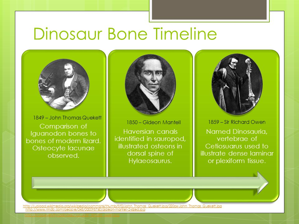 Dinosaur Bone Timeline Comparison of Iguanodon bones to bones of modern lizard.