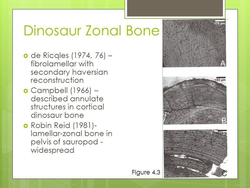 Zonal Bone Structure  Alternating fibrolamellar bone and Lines of Arrested Development (LAGs)  LAG – pause in osteogenesis  Annuli – more slowly formed bone  Could be seasonal Plate 5A