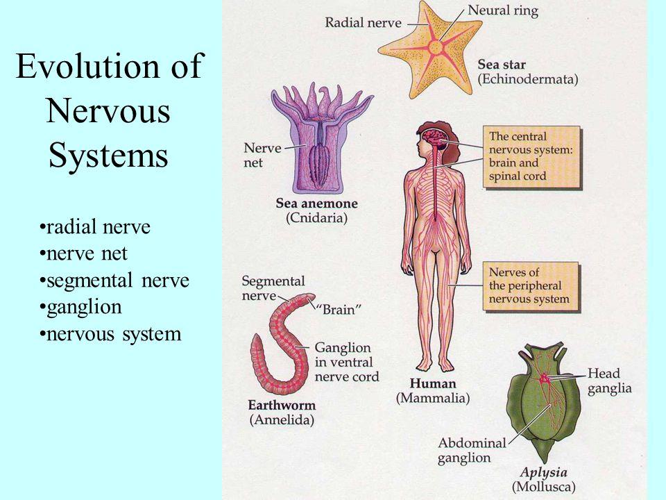 radial nerve nerve net segmental nerve ganglion nervous system Evolution of Nervous Systems