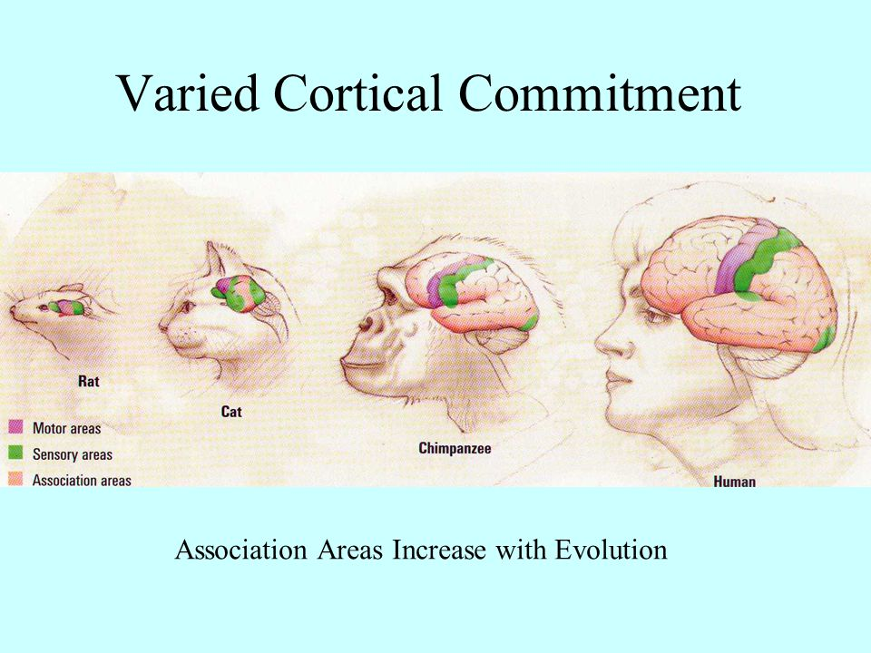 Association Areas Increase with Evolution Varied Cortical Commitment