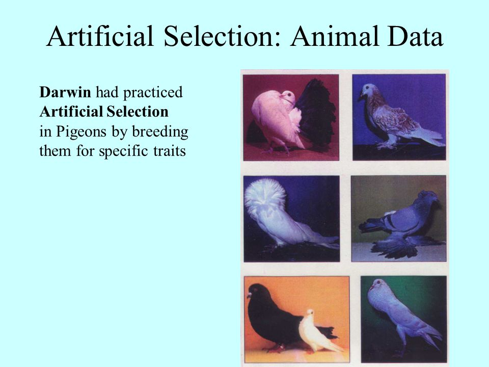 Darwin had seen the effects of Artificial Selection in plant products by breeding them for specific traits Artificial Selection: Plant Data