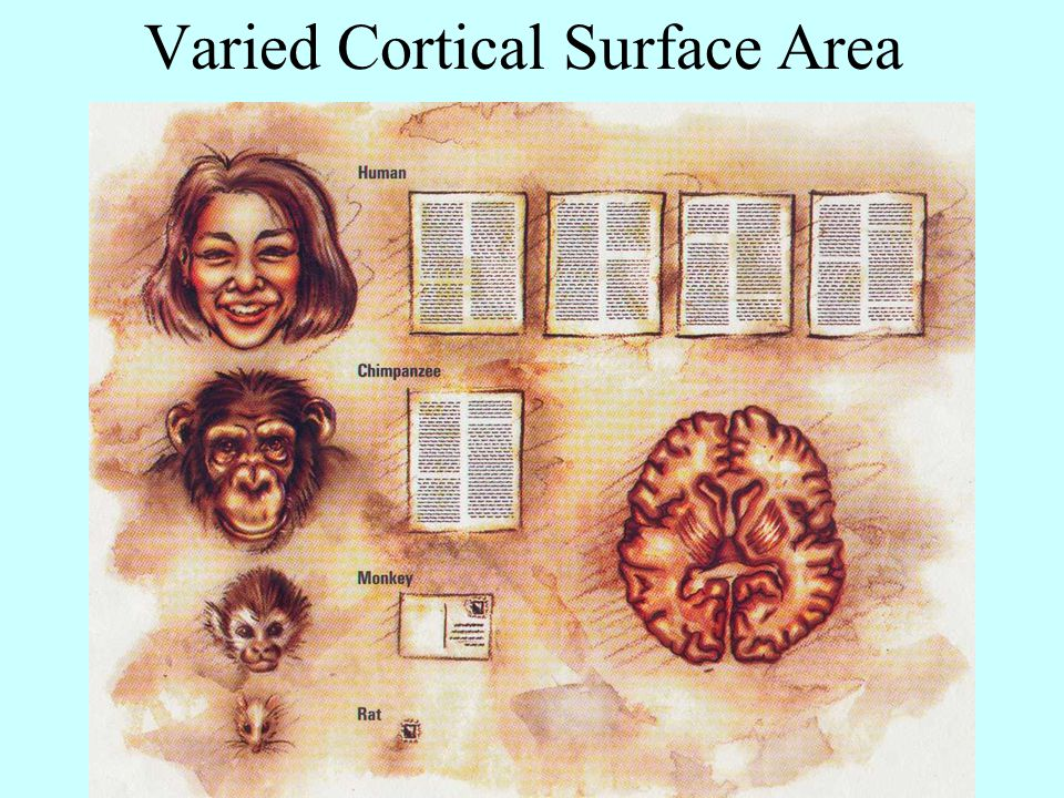 Varied Cortical Surface Area