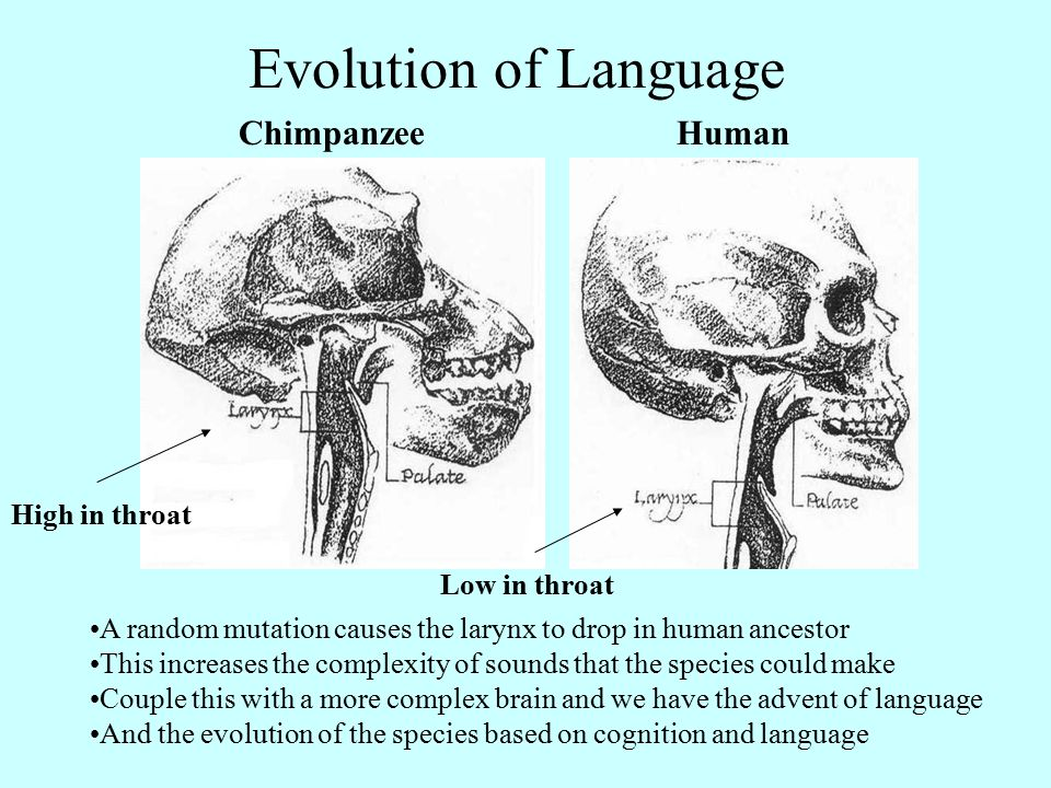 HumanChimpanzee A random mutation causes the larynx to drop in human ancestor This increases the complexity of sounds that the species could make Couple this with a more complex brain and we have the advent of language And the evolution of the species based on cognition and language High in throat Low in throat Evolution of Language