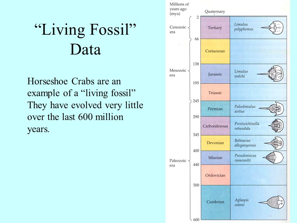 """""""Living Fossil"""" Data Horseshoe Crabs are an example of a """"living fossil"""" They have evolved very little over the last 600 million years."""