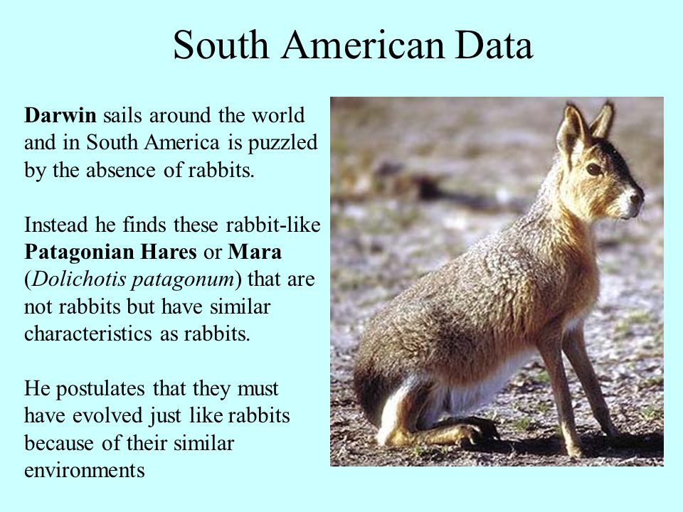 Darwin sails around the world and in South America is puzzled by the absence of rabbits. Instead he finds these rabbit-like Patagonian Hares or Mara (