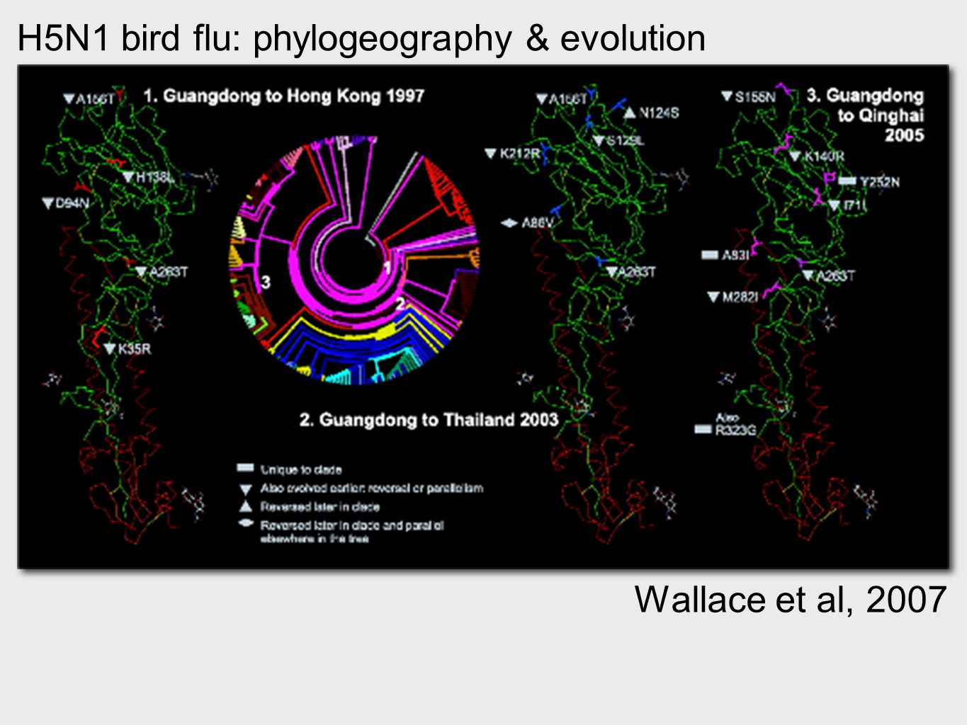 H5N1 bird flu: phylogeography & evolution Wallace et al, 2007