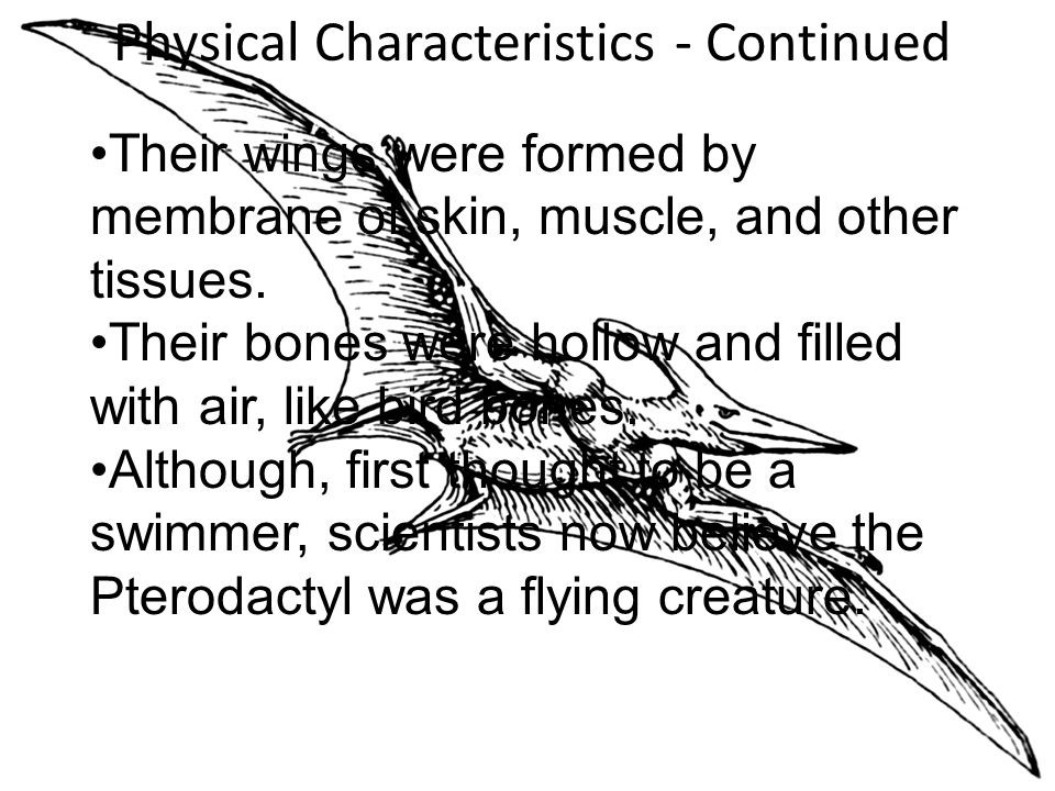 Physical Characteristics - Continued Their wings were formed by membrane of skin, muscle, and other tissues.